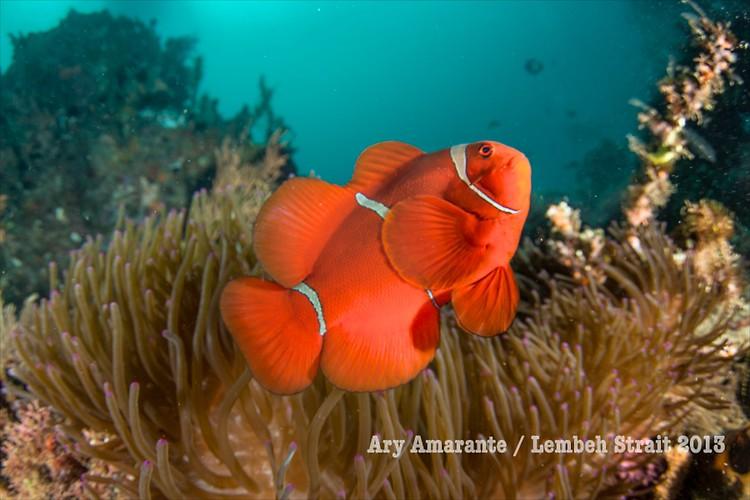 Spinecheek Anemonefish ( Premnas biaculeatus), Lembeh Resort, Indonesia, June 2013