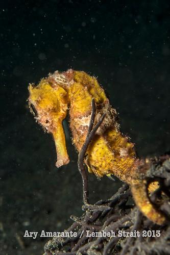 Common Seahorse ( Hippocampus taeniopterus ), Lembeh Resort, Indonesia, June 2013
