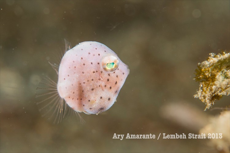 ( Juvenile filefish )Lembeh Resort, Indonesia, June 2013