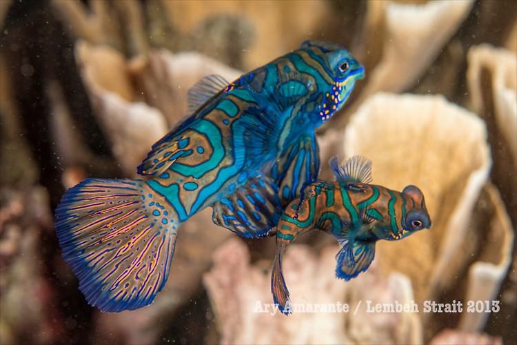 Mandarinfish (Synchiropus splendidus ), Lembeh Resort, Indonesia, June 2013