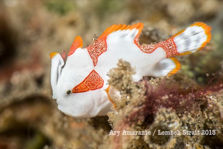 Warty/Clown Frogfish ( Antennarius maculatus ), Lembeh Resort, Indonesia, June 2013