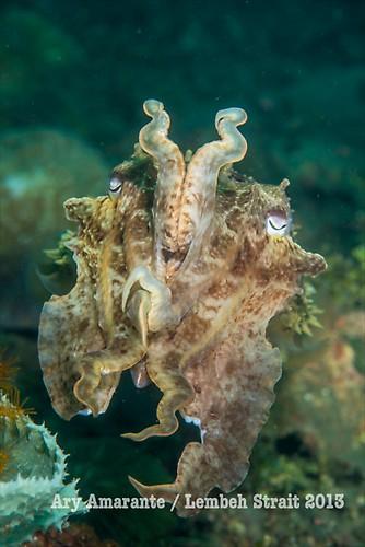 Broadclub Cuttlefish ( Sepia latimanus ), Lembeh Resort, Indonesia, June 2013