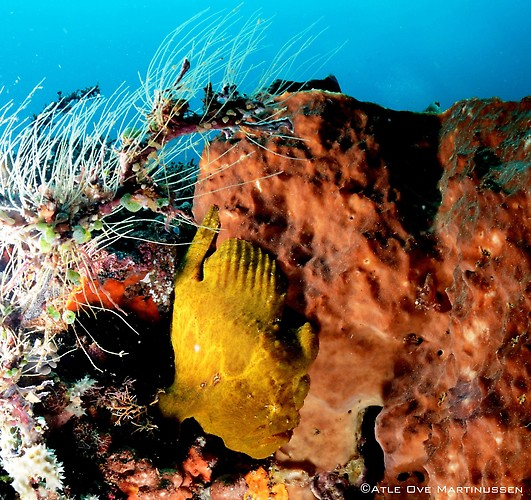Giant-Frogfish---AM