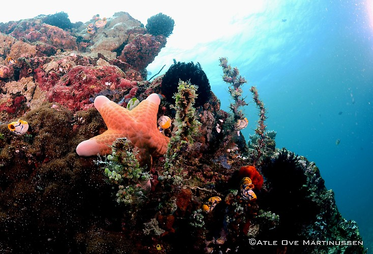 Granular Sea star, Choriaster granulates, Lembeh Strait Indonesia February 2013