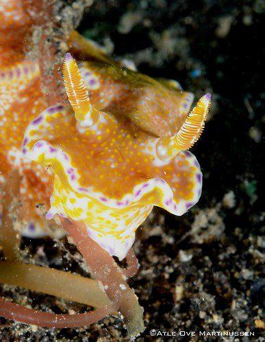 Ceratosoma tenue, Lembeh Strait Indonesia February 2013