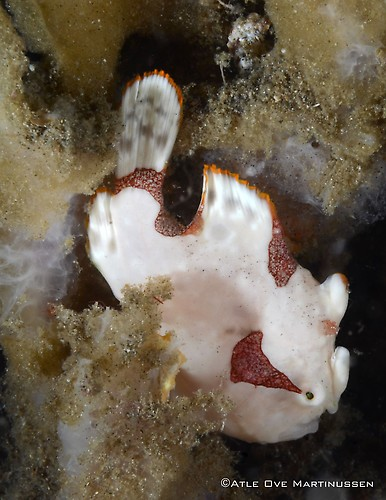 Clown-Frogfish---AM