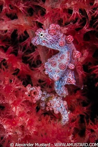 Bargibanti Pygmy Seahorse (Hippocampus bargibanti) Lembeh Strait Indonesia 2013
