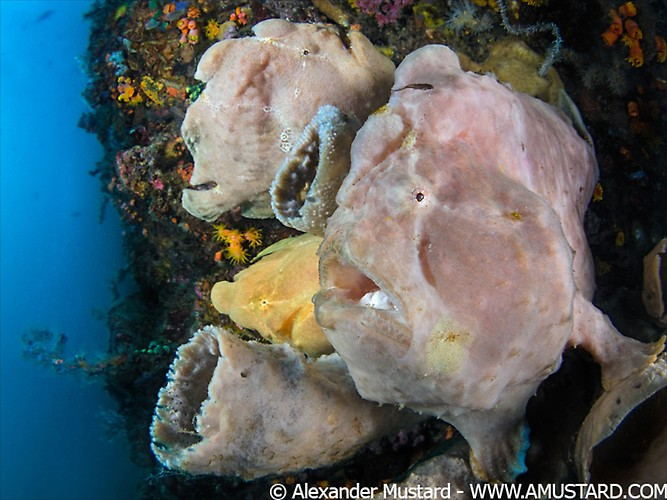 A trio giant frogfish (Antennarius commersoni), a female and two males. Bitung, North Sulawesi, Indonesia. Lembeh Strait, Molucca Sea.