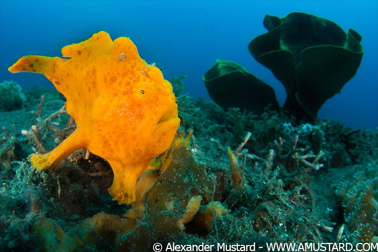 A golf-ball sized painted frogfish (Antennarius pictus) waits to ambush prey disguised as an orange sponge. Bitung, North Sulawesi, Indonesia. Lembeh Strait, Molucca Sea.
