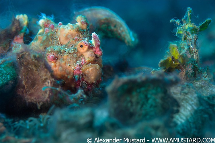 A warty frogfish (Antennartius maculatus) lays an ambush on the seabed. Bitung, North Sulawesi, Indonesia. Lembeh Strait, Molucca Sea.