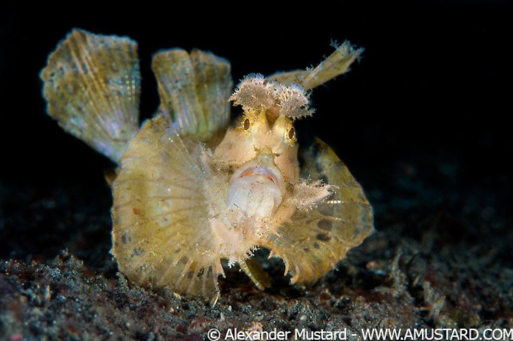 A portrait of a weedy scorpionfish (Rhinopias frondosa) moviong across the seabed. Bitung, North Sulawesi, Indonesia. Lembeh Strait, Molucca Sea.
