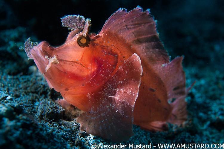 Paddle Flap Scorpionfish (Rhinopias eschmeyeri) Lembeh Strait Indonesia 2013