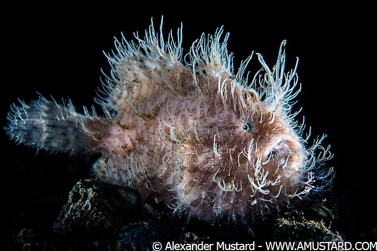 A portrait of a hairy frogfish (striated frogfish: striped frogfish: Antennarius striatus) lies in wait for prey on the sand. This large indidual was probably a female. Aer Prang, Bitung, North Sulawesi, Indonesia. Lembeh Strait, Molucca Sea.