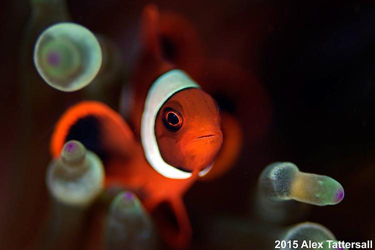 Spine Cheek Anemonefish, (Premnas biaculeatus), Lembeh Strait Indonesia, October, 2015