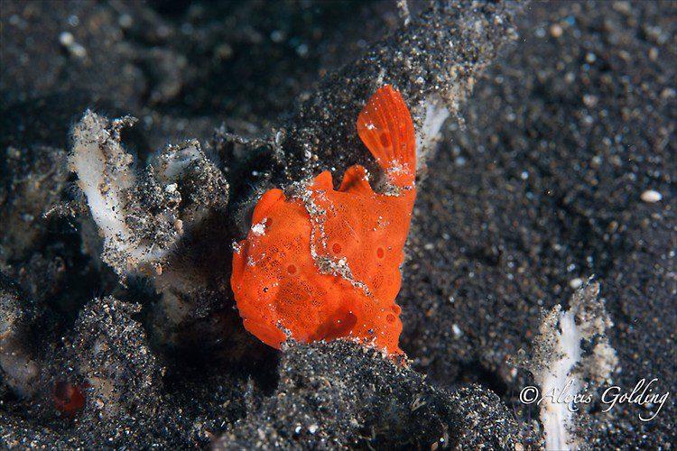 Orange Painted Frogfish ( Antennarius pictus), Lembeh Strait Indonesia October 2013