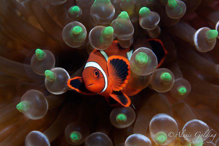 Baby Spinecheek Clownfish (Premnas biaculeatus) Lembeh Strait Indonesia October 2013