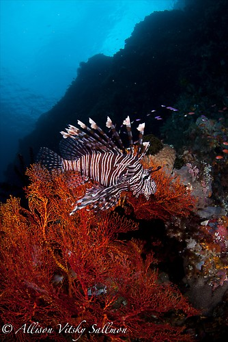 Lion Fish Wide Angle - Lembeh Strait Indonesia May 2013