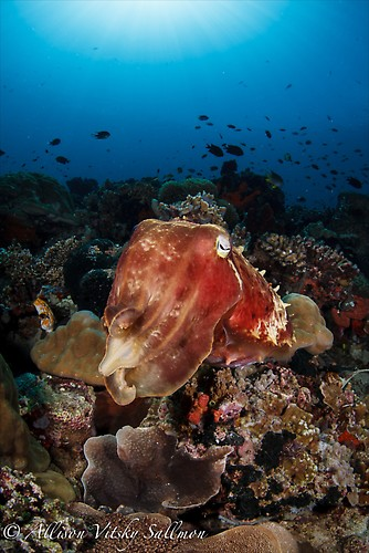Giant Cuttlefish Wide Angle - Lembeh Strait Indonesia May 2013