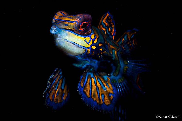 Mandarin Fish (Synchiropus splendidus) Lembeh Strait Indonesia 2014