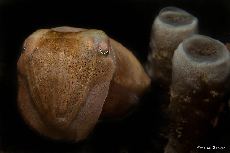 Broadclub cuttlefish, Sepia latimanus, Lembeh Strait Indonesia October 2014