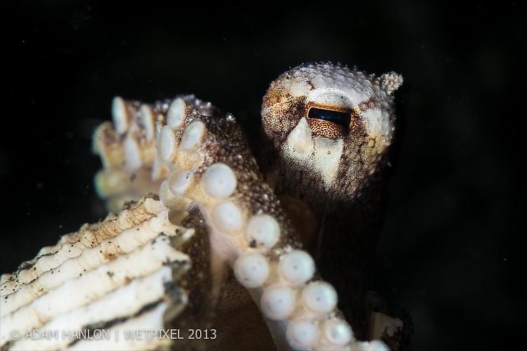 Coconut Octopus (Amphioctopus marginatus) Lembeh Strait Indonesia October 2013