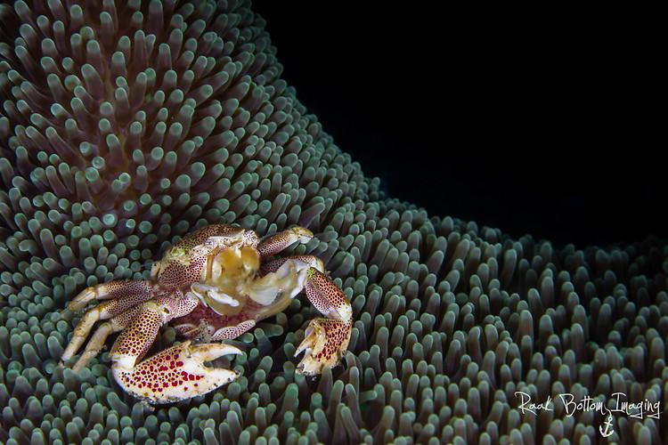 Anemone Porcelain crab, Neopetrolisthes maculosus Lembeh Strait Indonesia April 2016
