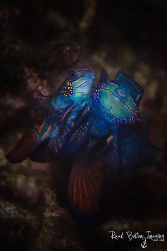 Mandarinfish, Synchiropus splendidus, Lembeh Strait Indonesia, April 2016