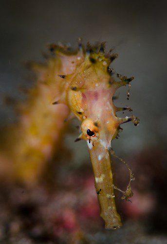 Thorny Seahorse (Hippocampus hystrix), Lembeh Strait, Indonesia, September 2012