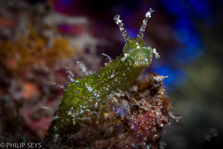 Stylocheilus striatus, Lembeh Strait Indonesia September 2014