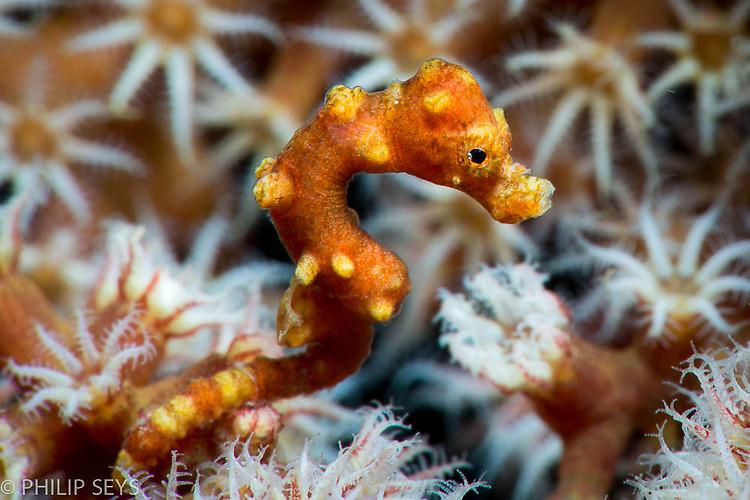 Denise Pygmy Seahorse, Hippocampus denise, Lembeh Strait Indonesia September 2014