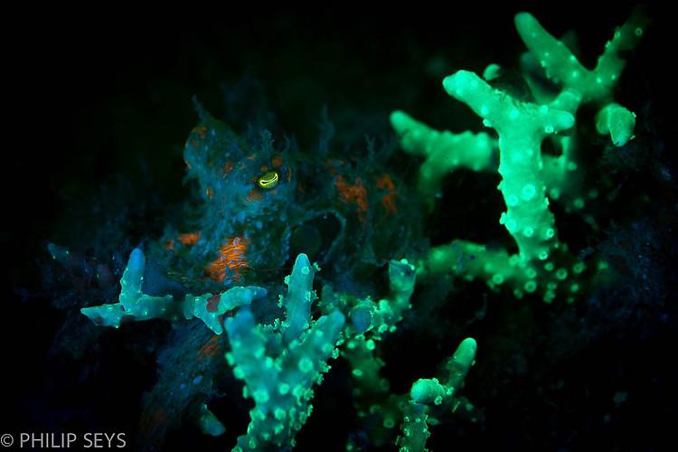 Algae Octopus, Abdopus aculeatus, Lembeh Strait Indonesia September 2014
