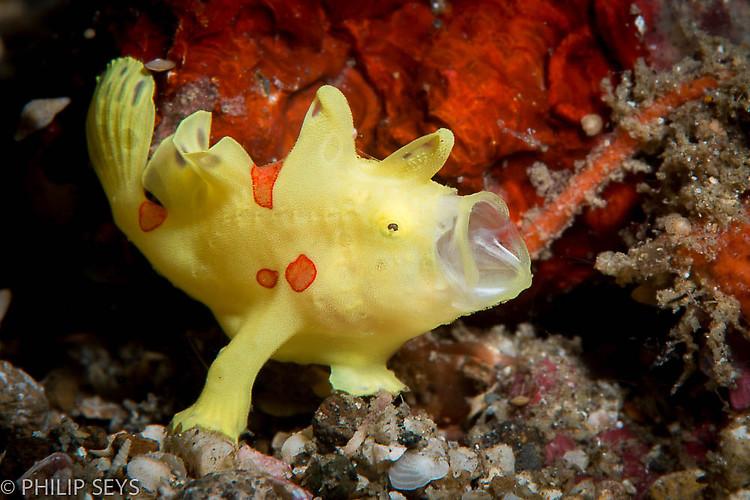 Clown frogfish, Antennarius maculatus, Lembeh Strait Indonesia September 2014