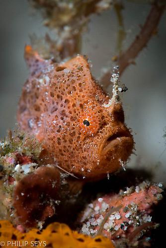 Scarlet frogfish Antennarius coccineus, Lembeh Strait Indonesia September 2014