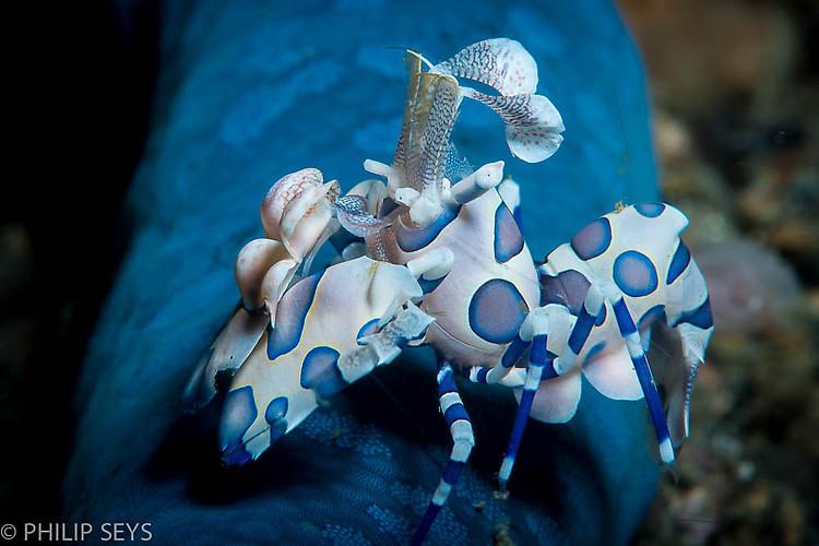 Harlequin shrimp, Hymenocera picta, Lembeh Strait Indonesia September 2014