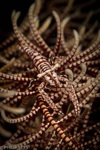 Crinoid shrimp, Laomenes amboinensis, Lembeh Strait Indonesia September 2014
