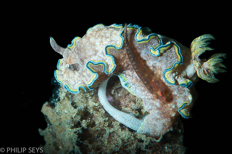 Glossodoris cincta laying eggs with a pygmy goby, Lembeh Strait Indonesia 2014