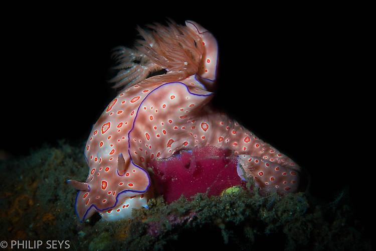 T- Bar Nudibranch laying eggs,Ceratosoma trilobatum Lembeh Strait Indonesia 2014