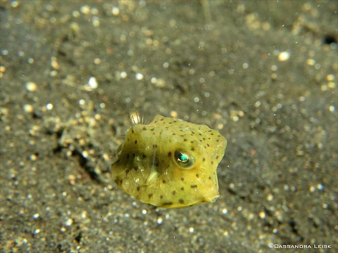Juvenile yellow Boxfish, Ostracion cubicus, Lembeh Strait Indonesia, May 2014
