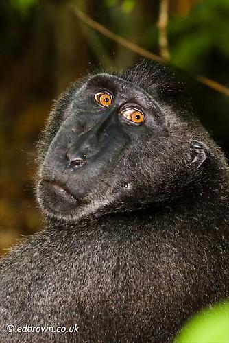 Black macaque - Macaca nigra, Tangkoko Nature Reserve, North Sulawesi, Indonesia