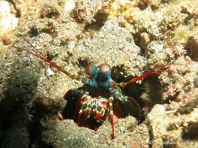 Peacock Mantis Shrimp (Odontodactylus scyllarus) Lembeh Strait Indonesia May 2014