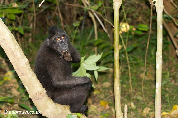 Tangkoko Nature Reserve, North Sulawesi, Indonesia