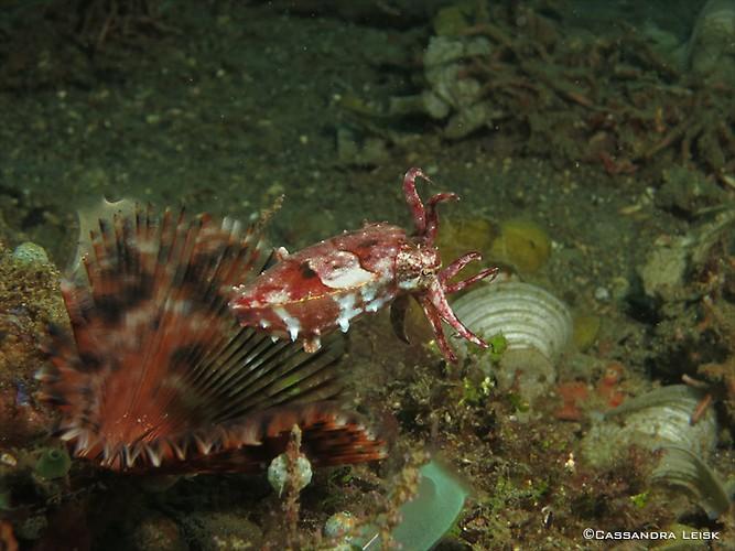 Pygmy cuttlefish, Sepia bandensis, Lembeh Strait Indonesia, May 2014