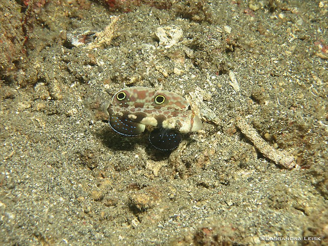 Twinspot Goby , Signigobius biocellatus, Lembeh Strait Indonesia, May 2014