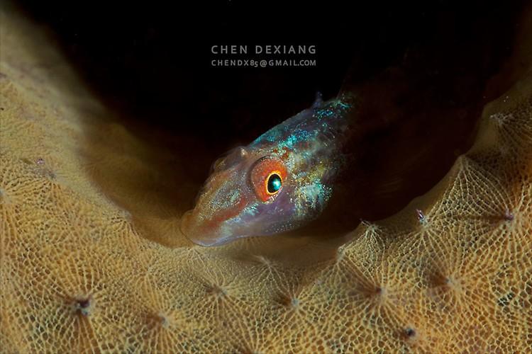 Elongate Ghostgoby (Pleurosicya elongata) Lembeh Strait Indonesia 2013