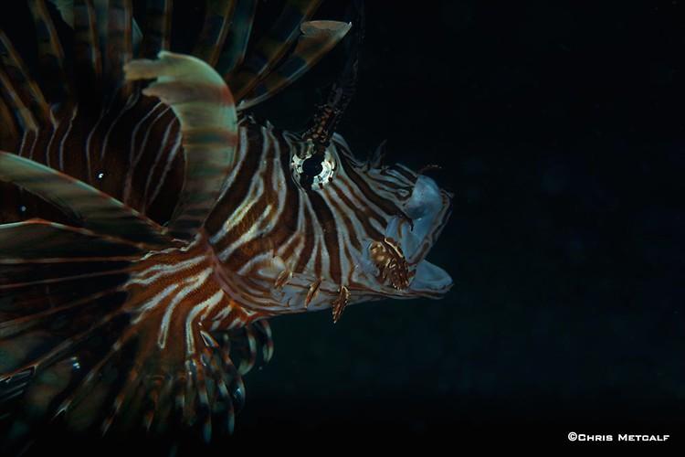 Common Lionfish, Pterois volitans, Lembeh Strait Indonesia April 2014