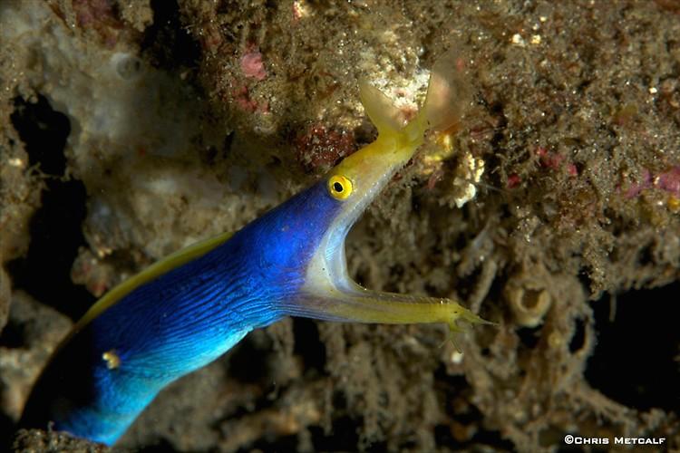 Blue-ribbon eel, Rhinomuraena quaesita, Lembeh Strait Indonesia, April 2014