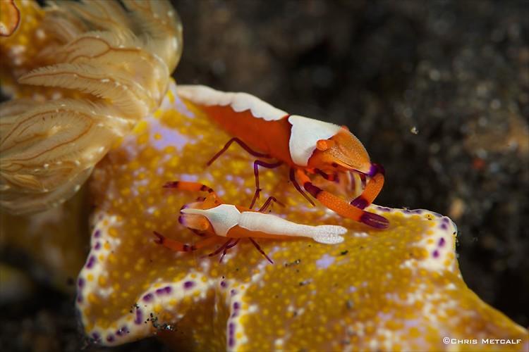 Emperor shrimp, Periclimenes imperator, on Ceratosoma tenue Lembeh Strait Indonesia September 2014