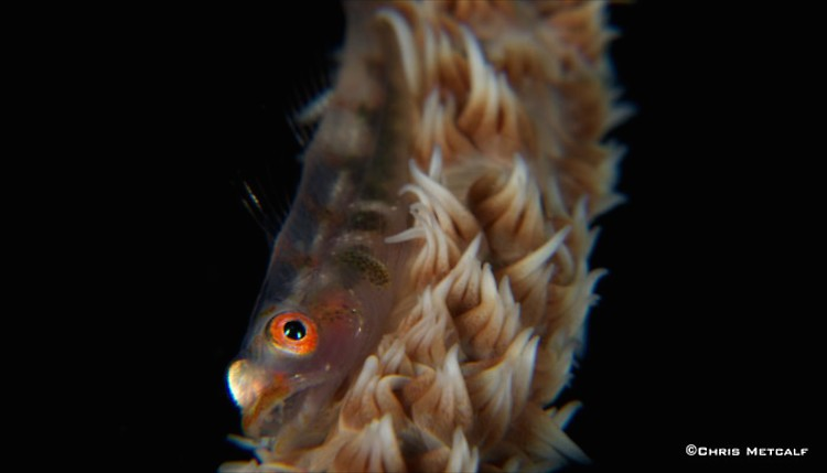 Whip-Coral-Goby, Bryaninops yongei, Lembeh Strait Indonesia, April 2014