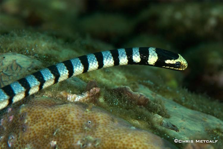 Banded sea snake, Laticauda colubrina, Lembeh Strait Indonesia 2014