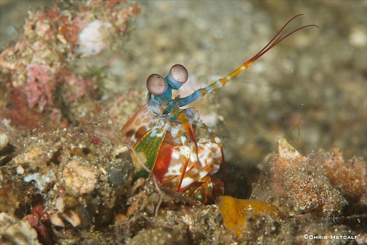 Peacock Mantis Shrimp (Odontodactylus scyllarus) Lembeh Strait Indonesia April 2014